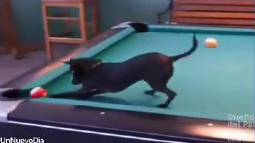 chihuaua-juega-billar