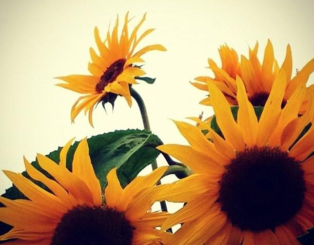 [socalgram] Sunflowers at Centennial Farm - OC Fair