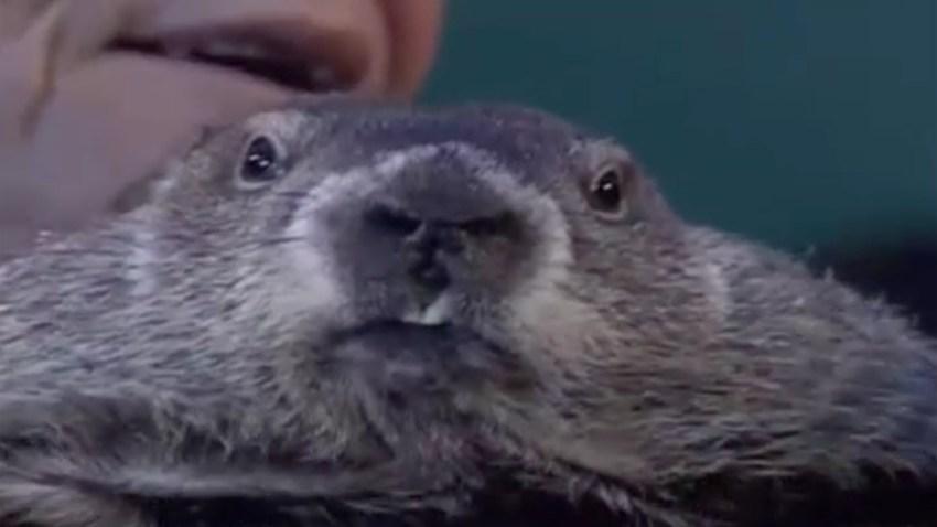 marmota-phil