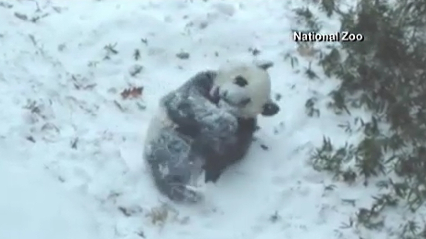 osito-panda-nieve