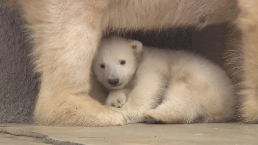 osito-polar-timido