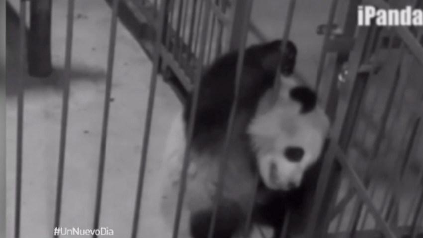 panda-atrapado-jaula