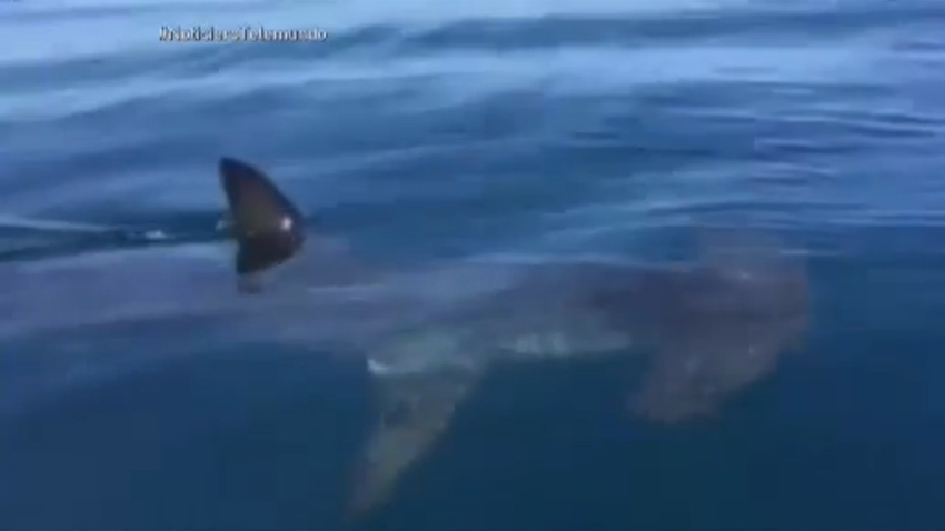 tiburon-martillo