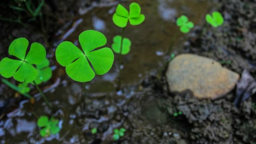 trebol-cuatro-hojas-buena-suerte-horoscopos