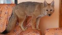 Familia lucha por recuperar a Antonio, un zorro al que crió desde que era un cachorro