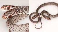 Hallan inusual serpiente de dos cabezas en Florida