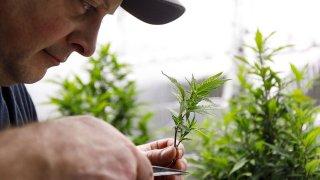 marihuana en Estados Unidos