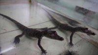 Se buscan nombres para cocodrilos nacidos en cautiverio en Perú