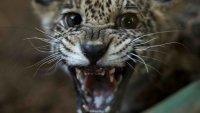 Dos pequeños jaguares fueron rescatados tras ser puestos a la venta ilegalmente en redes sociales