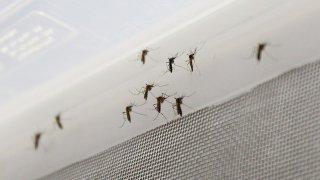 Comienza la primera prueba con mosquitos modificados genéticamente