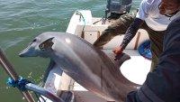 En video: rescatan a delfín herido y atrapado en redes de pesca