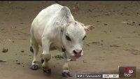 Mide menos de 20 pulgadas de alto: es la vaca más pequeña del mundo