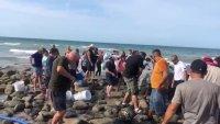 En video: cómo hidratan a una ballena varada antes de devolverla al mar