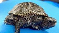Encuentran inusual tortuga de dos cabezas y seis patas en Massachusetts
