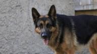 Policía: perro ataca y mata a bebé de dos meses