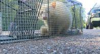 mapache-albino-extrano-gale-005