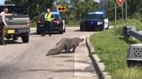 Un enorme caimán se paseó lentamente provocando el cierre de un paso elevado en Carolina del Norte.