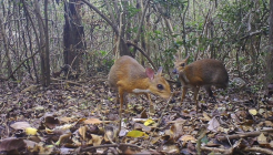 """Captan al raro """"ciervo-ratón"""" que lo creían extinto"""
