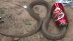 Insólito: liberan a cobra atascada en lata de gaseosa