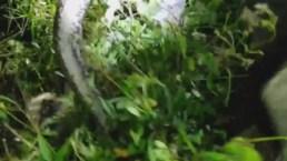 Salvan a caimán del apretón de una pitón en el sur de la Florida