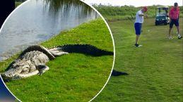 Viral: pitón contra caimán en campo de golf, ¿quién ganó?