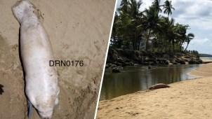Hallan muerto a bebé manatí en playa de Aguada