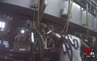 Revelan nuevo video del maltrato a animales en granja