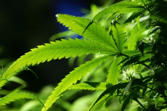 Senado respalda permitir marihuana medicinal fumable