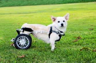 Abandonan a perrito tras saber que no volvería a caminar