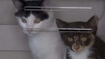 Adopta un gatito en cualquier albergue de Miami