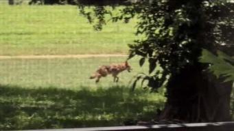 Coyotes atemorizan a comunidad del sur de Florida