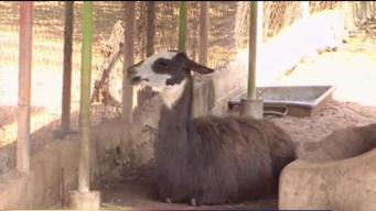 """Roban animales de zoo en Venezuela """"para poder comer"""""""