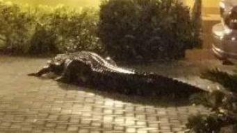 Encuentran a enorme cocodrilo rondando en la Pequeña Habana