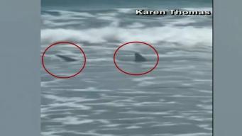 En cámara: Dos tiburones muy cerca de una playa de Florida