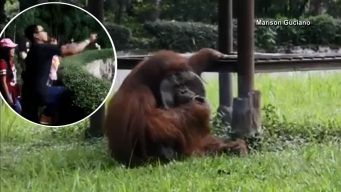 Viral: orangután fuma cigarrillo que le lanzaron y surgen críticas