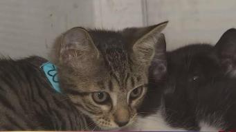 Quitarle uñas a gatos podría ser prohibido en Florida