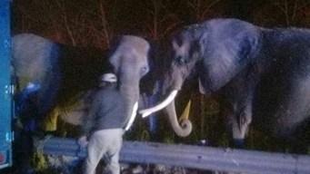 Responden a emergencia y se topan con tres elefantes