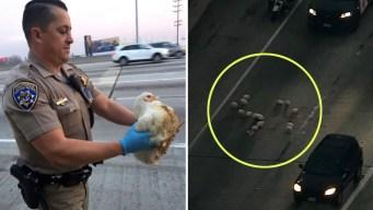 Pollos corretean por autopista y paralizan el tránsito