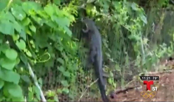 Caimán aterroriza a miembros de un club de golf