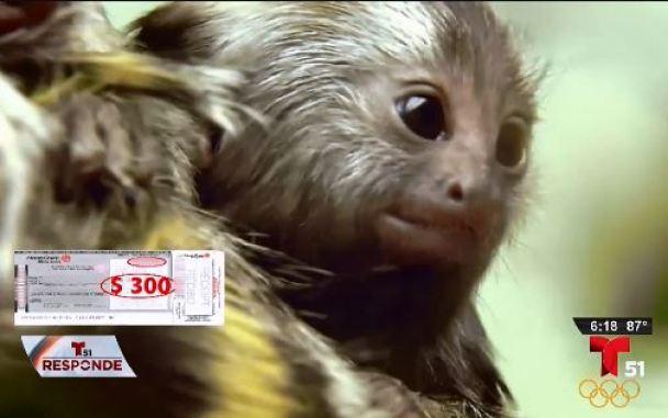 Un mono tití lleva a una red de engaños