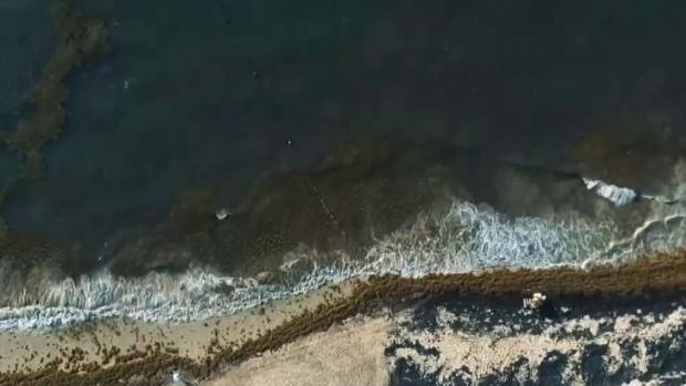 [TLMD - MIA] Por qué una invasión de sargazo está plagando nuestras playas