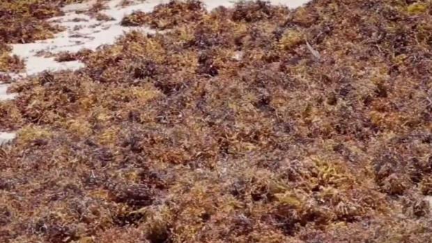 [TLMD - MIA] Invasión del sargazo pudiera empeorar en playas de Florida