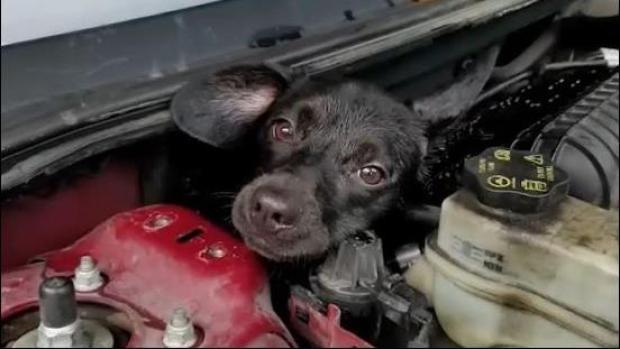[VIDEO] Maullido de gato alerta de perro atrapado en capó de auto