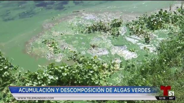 [TLMD - MIA] Proliferacion de algas verdes en costas de Florida