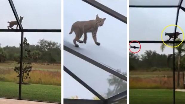 [TLMD - NATL]  ¿Quién fue más veloz? El gato salvaje o la ardillita asustada
