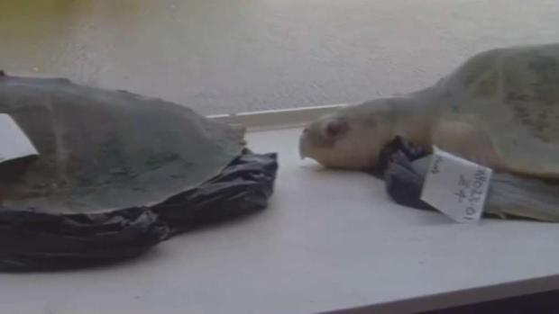 [TLMD - MIA] Tortugas marinas víctimas de la marea roja