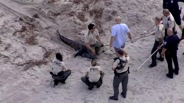 [TLMD - MIA] Atrapan a cocodrilo en Hollywood Beach