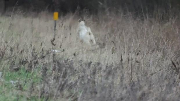 [TLMD - MIA] Cabra buscada por la policía es sensación en las redes