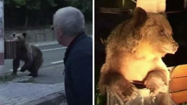 Población aterrada: osos se apoderan de las calles y atacan a personas