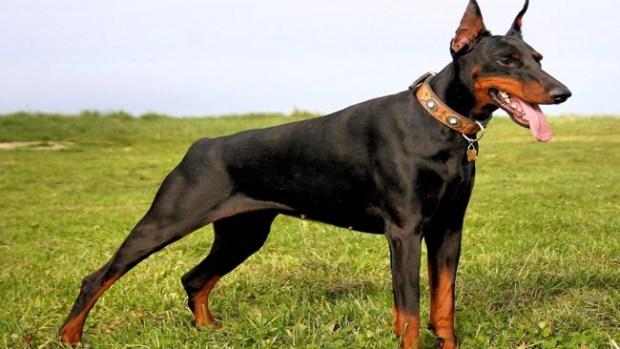 Razas de perros peligrosos y agresivos